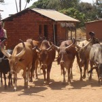 Village cattle